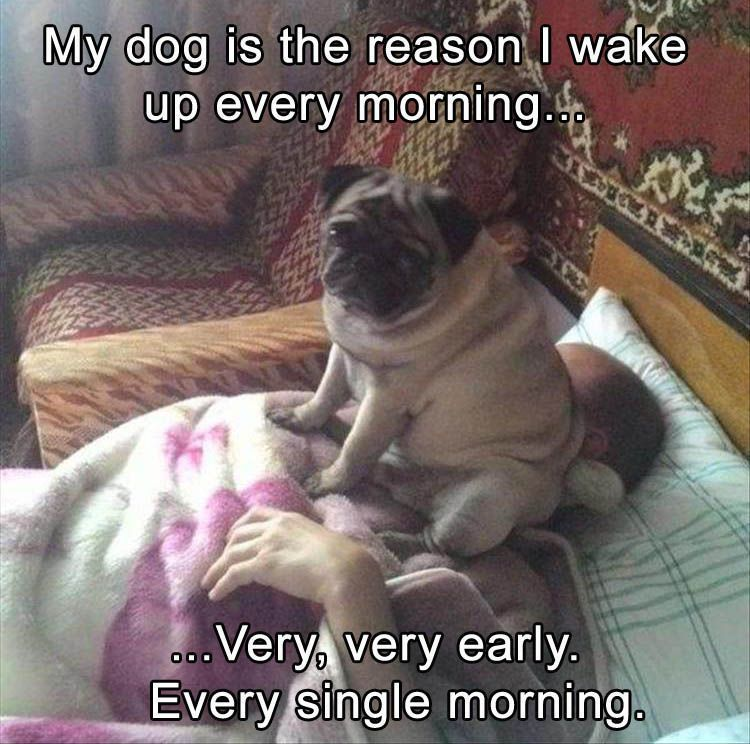 This Is True About Pug Ownership They Are Relentless When It