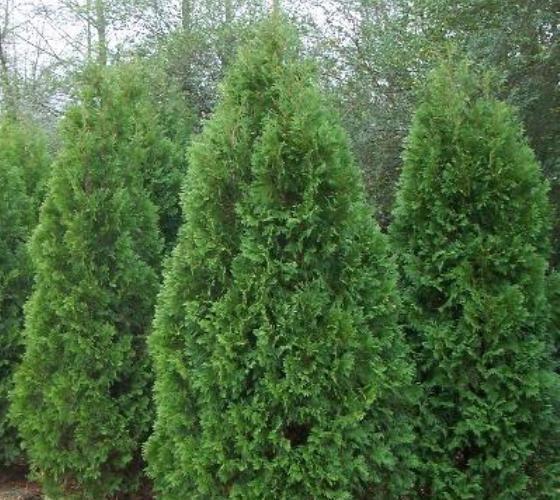 Blue Cone Arborvitae Thuja Arborvitae Shrubs For Privacy Emerald Green Arborvitae