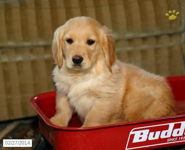 Golden Retriever Puppy For Sale Golden Retriever Puppies For