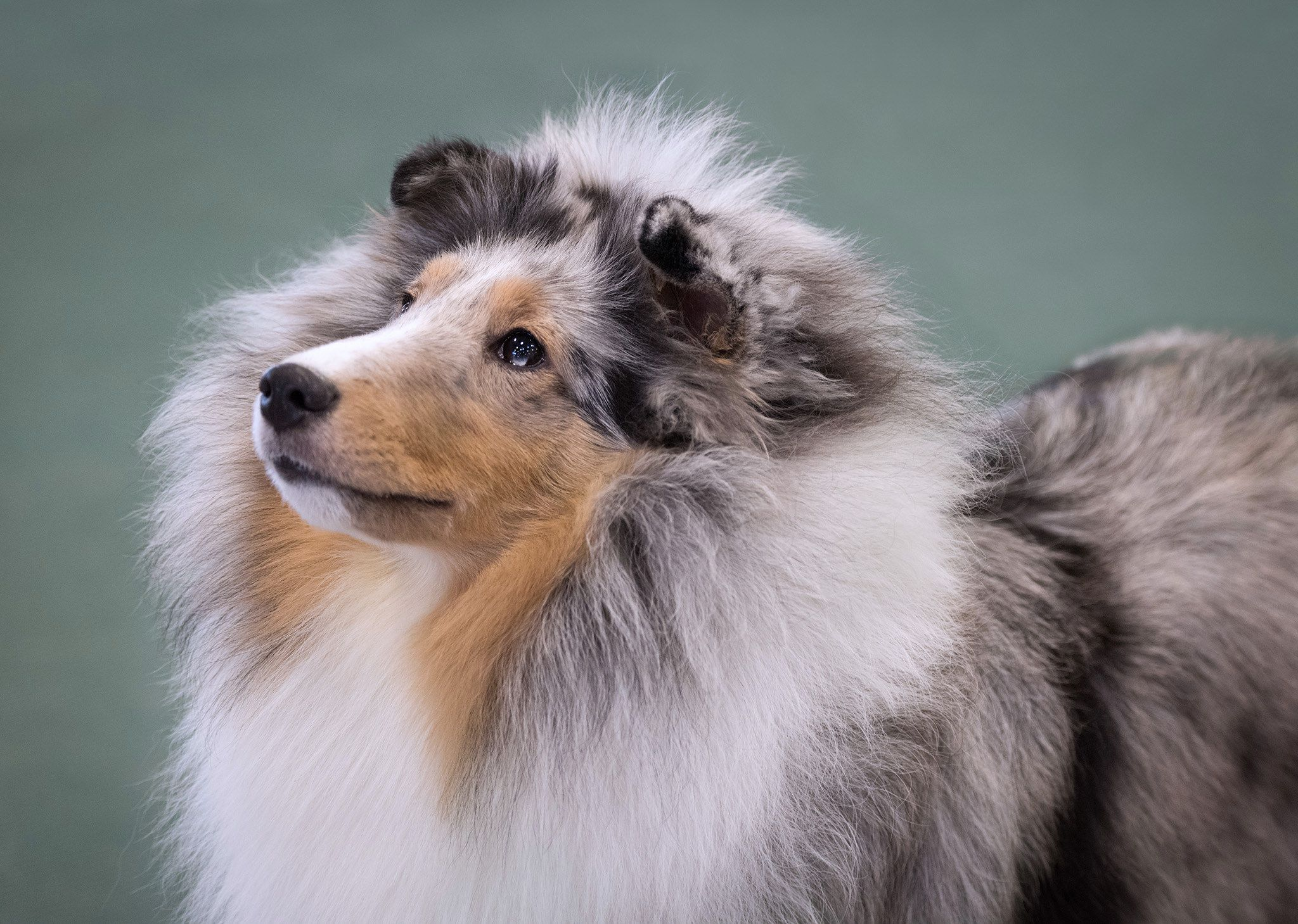 AKC Helena Fall 2017 Sheltie, Blue merle sheltie