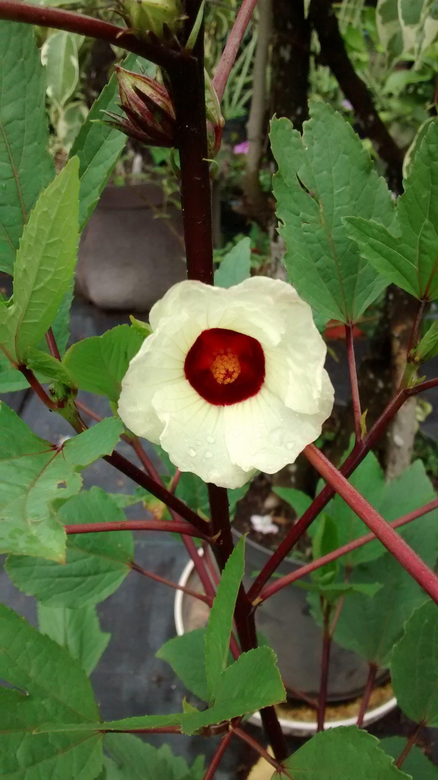 Sembramos hace unas semanas unas flores de Jamaica, y he aquí el ...
