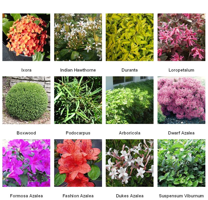 Types Of Lilies In Florida: Planting Shrubs, Shrubs, Plants