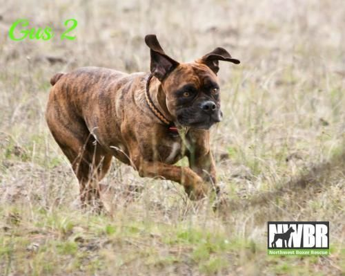 I found Pepper on Boxer rescue, Dogs, Pets