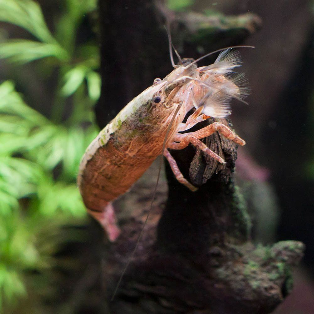 Flower Bamboo Shrimp Scientific Name Atyopsis Moluccensis Ease Of