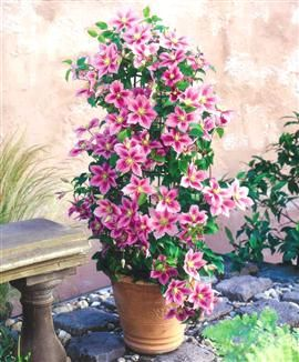 clematis 39 piilu 39 great potted clematis info how does. Black Bedroom Furniture Sets. Home Design Ideas