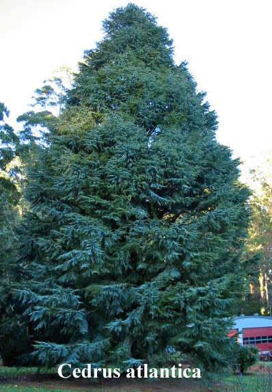 Cedrus Atlantica Cedrus Atlantica Atlas Cedar A Tall Majestic Tree With Tufts Of Fine Needles Usually Deep Green But Occas Conifers Deep Green Landscape