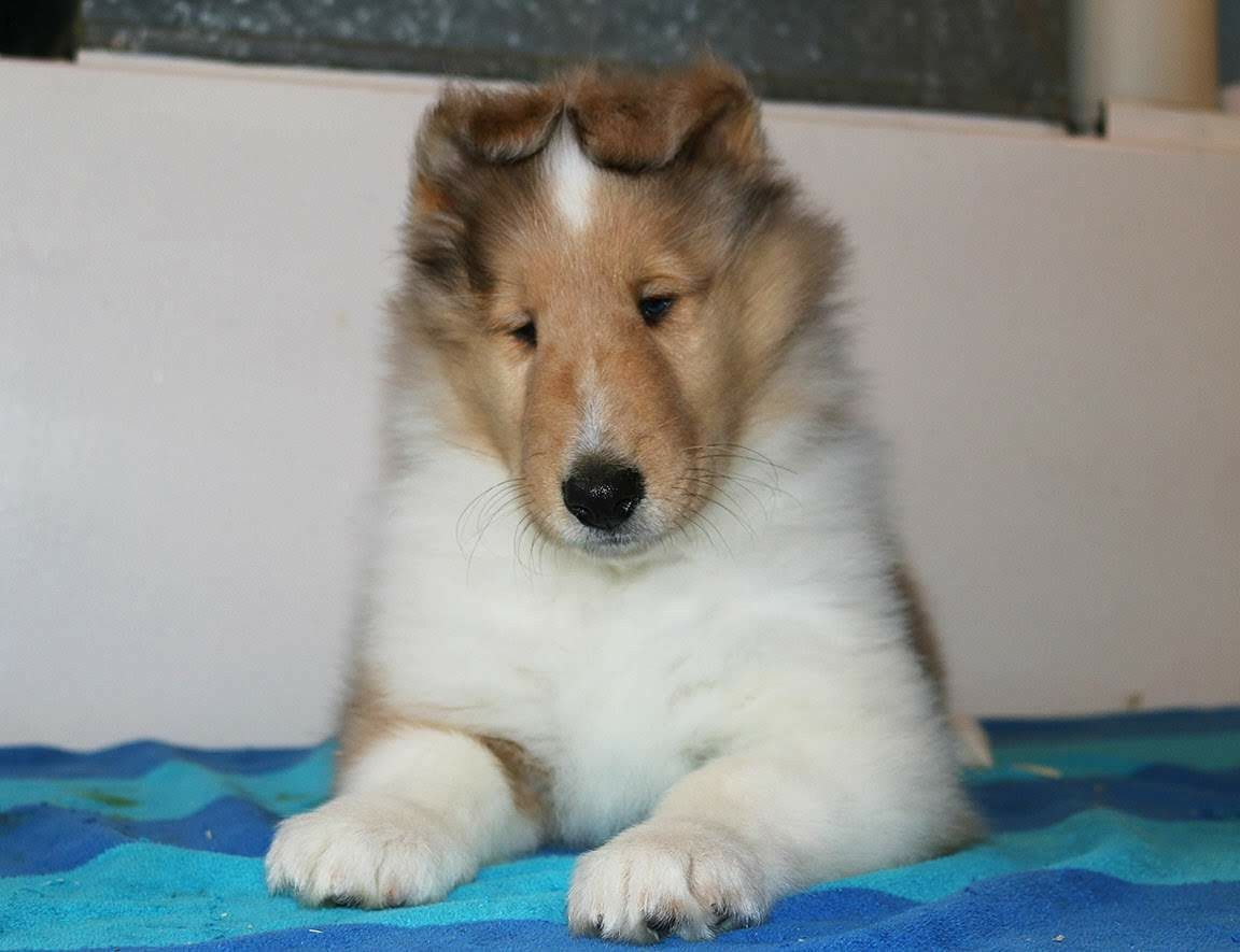 Pin By Nancy Patierno On Collies Dogs Dog Cat Collie