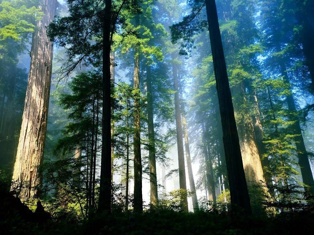 Windows Vista Desktop Wallpaper 1024x768 Windows Vista Wallpaper Aero Woods 1024x768 Free Hd Widescreen Tree Forest Forest Wallpaper Redwood Forest