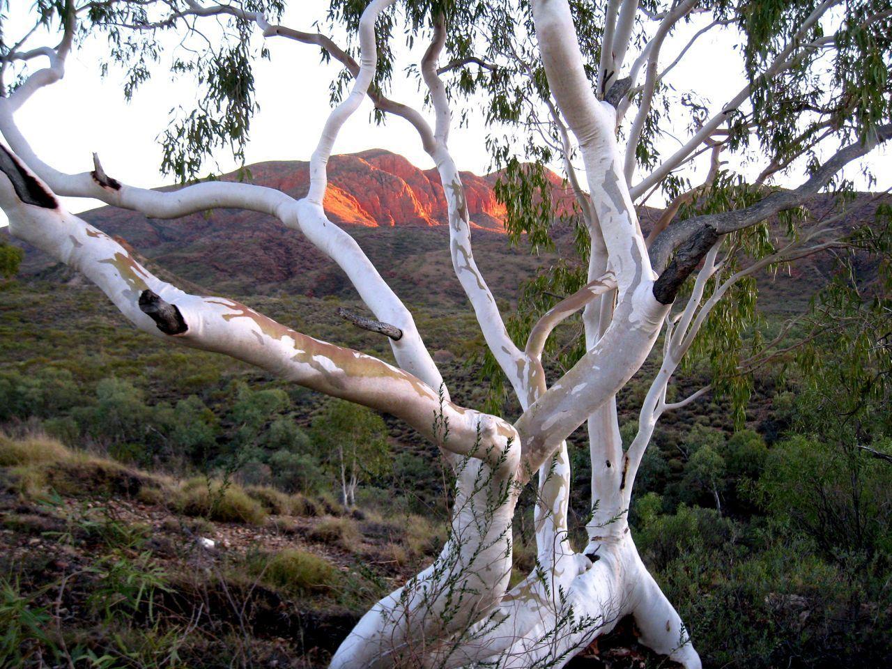 Ghost Gum Sunrise Mt Sondor Central Australia #landscapephotography #landscape #photography #australian