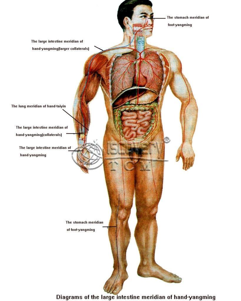 Male Human Body Organs Diagram Human Body Anatomy Pinterest