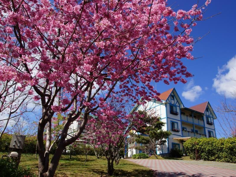 Cherry Blossom In Taiwan 2021 Forecast The Best Time 8 Best Places To See Cherry Blossoms In Taiwan Living Nomads Travel Tips Guides News Informat Cherry Blossom Blossom Trees Taiwan