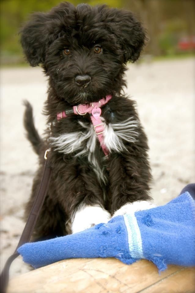 Our Little Love Bug Alli At 12 Weeks Portuguese Water Dog