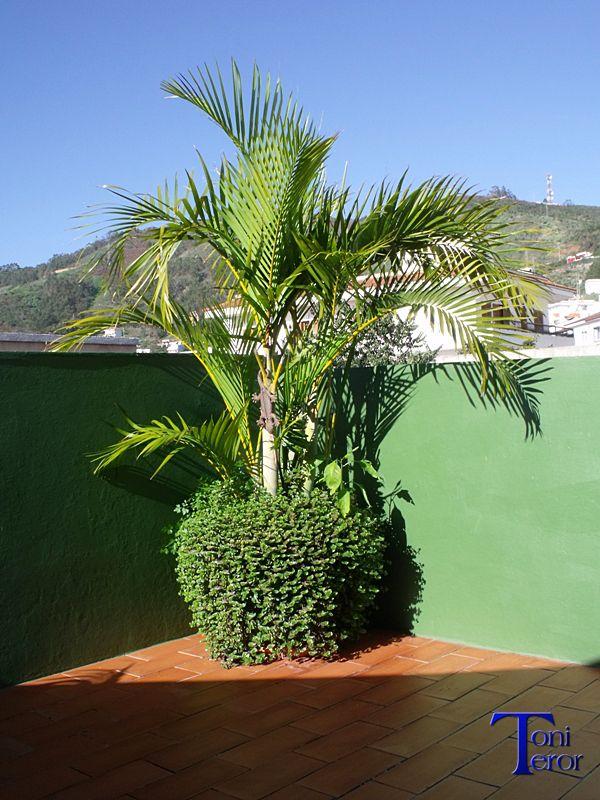 Palmera en una maceta macetas palmeras y canarios - Palmeras pequenas para jardin ...