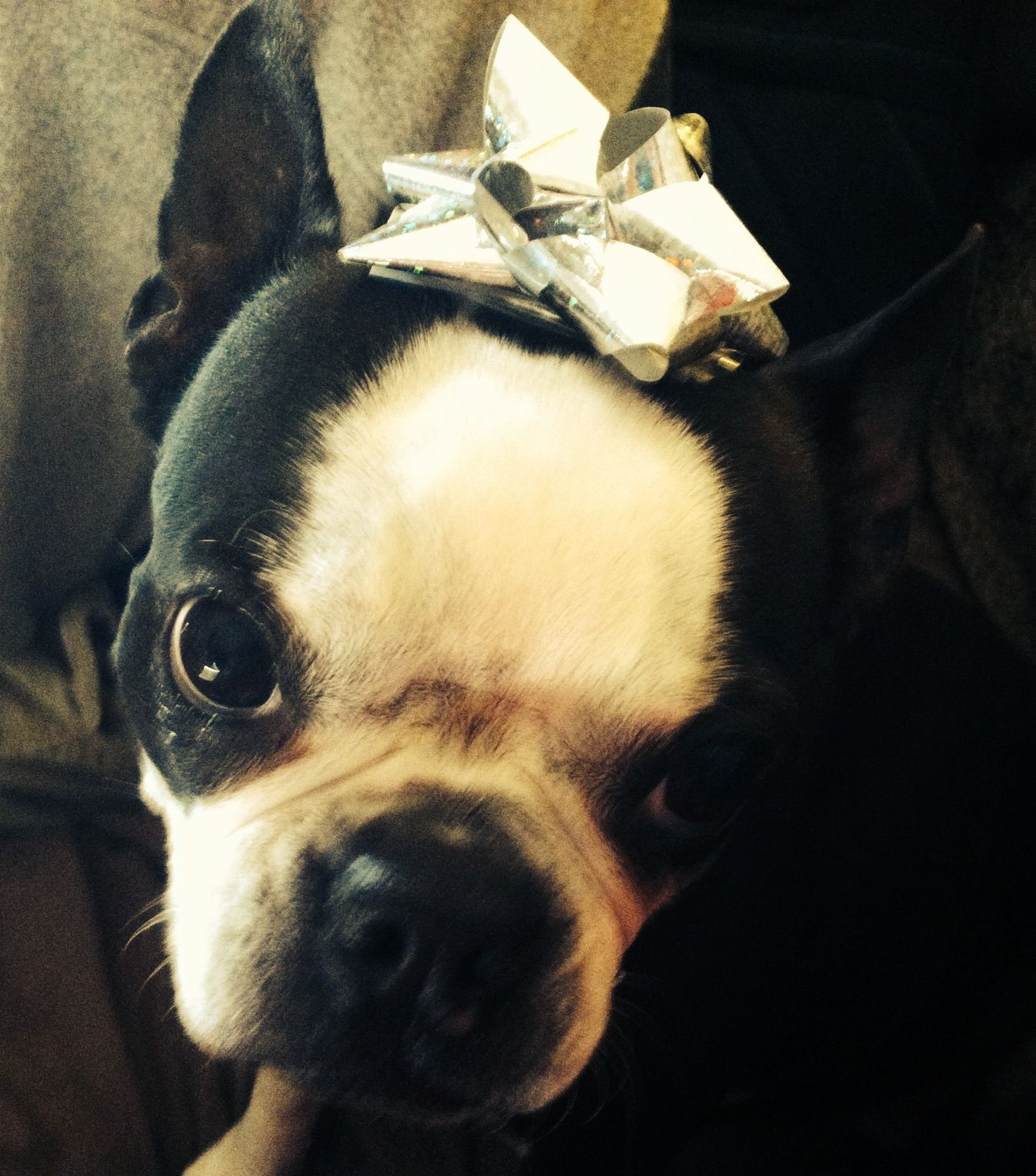 Boston Terrier Christmas Memes