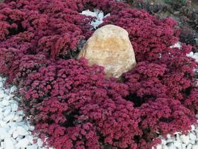 New Perennials 2012 Rock Garden Plants Plant Design Sedum