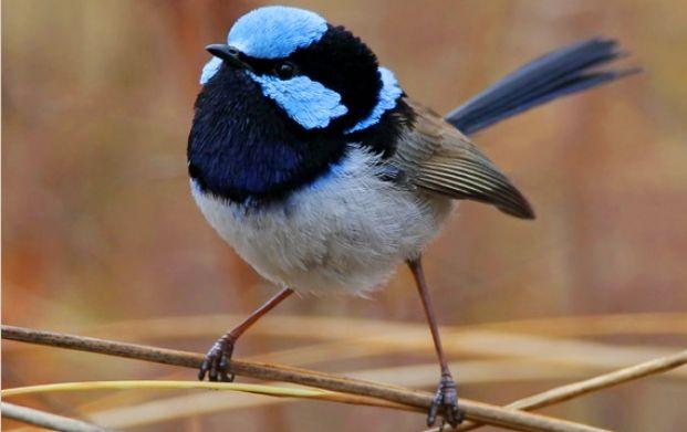 Fairy-wrens eavesdrop to avert danger - Australian Geographic