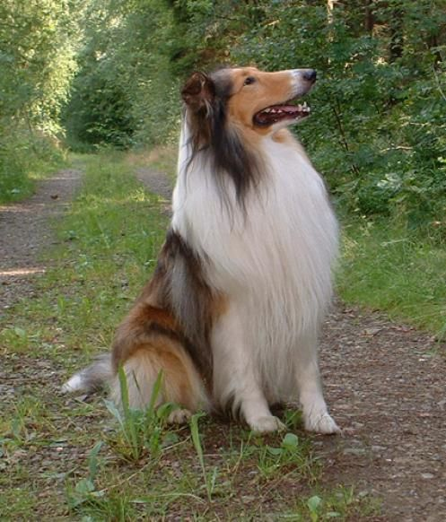 Rough Collie Such A Noble Dog One Day I Shall Own A Collie And