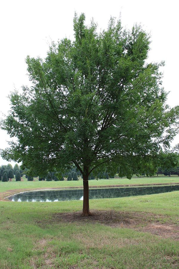 The Allee Elm Has A Vase Shaped Form With Long Arching Branches With Rich Green And Glossy Foliage That Changes Types Of Soil Landscaping Trees Backyard Inspo