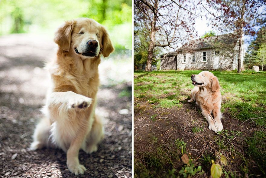 Born Without Eyes Smiley The Golden Retriever Becomes Therapy Dog
