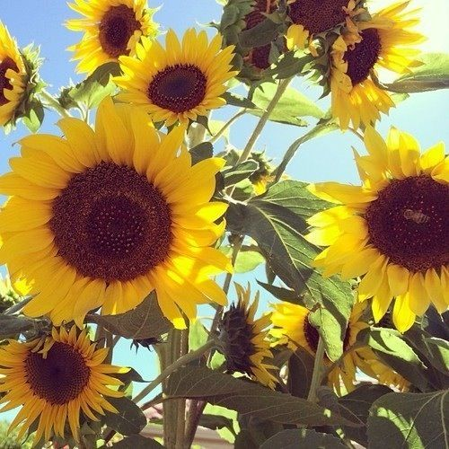 Wild Hearts Can T Be Broken Magical Garden Sunflowers And Daisies Beautiful Flowers