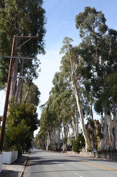 Eucalyptus Oil Eucalyptus Oil Eucalyptus San Mateo County