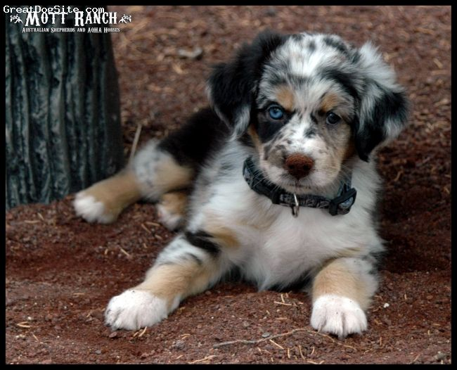 Pin By Celina Ferreira On Pets My Dear Friends Australian Shepherd Australian Shepherd Blue Heeler Australian Shepherd Puppy