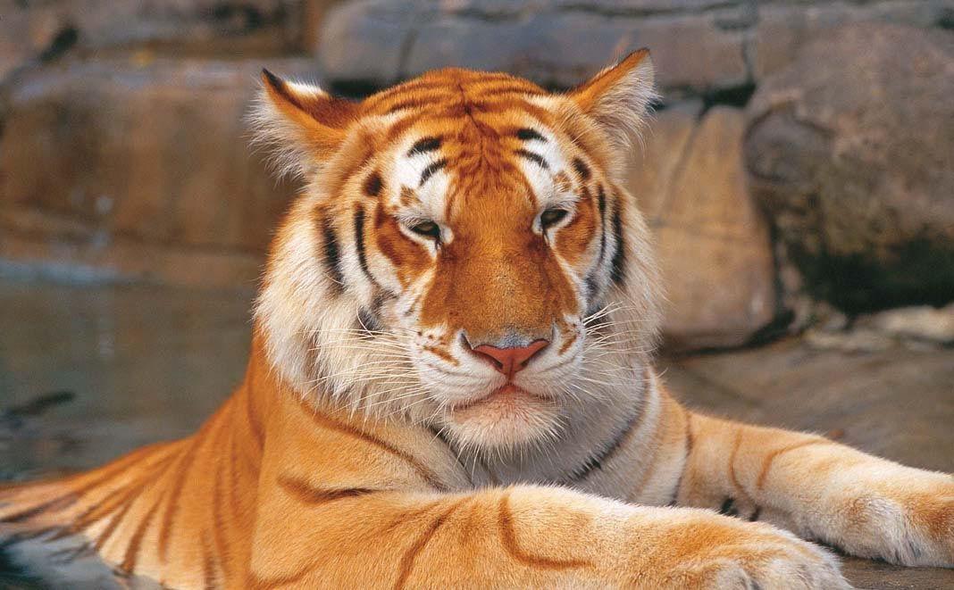 Tiger Island, Dreamworld Unique animals, Tiger