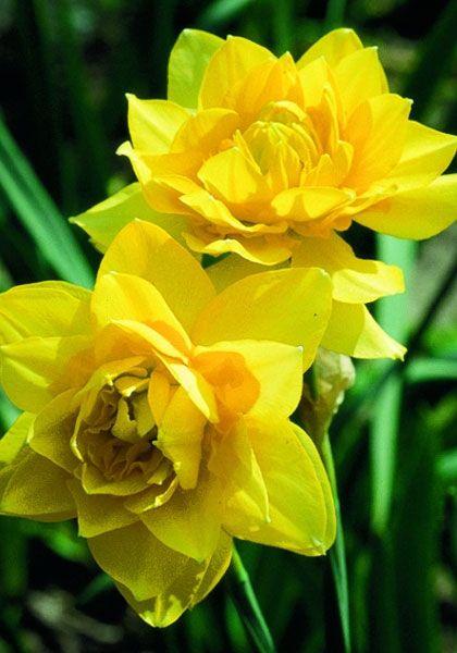 Butter And Eggs An Old Southern Daffodil Liljor Daffodils English Flower Garden Garden Bulbs