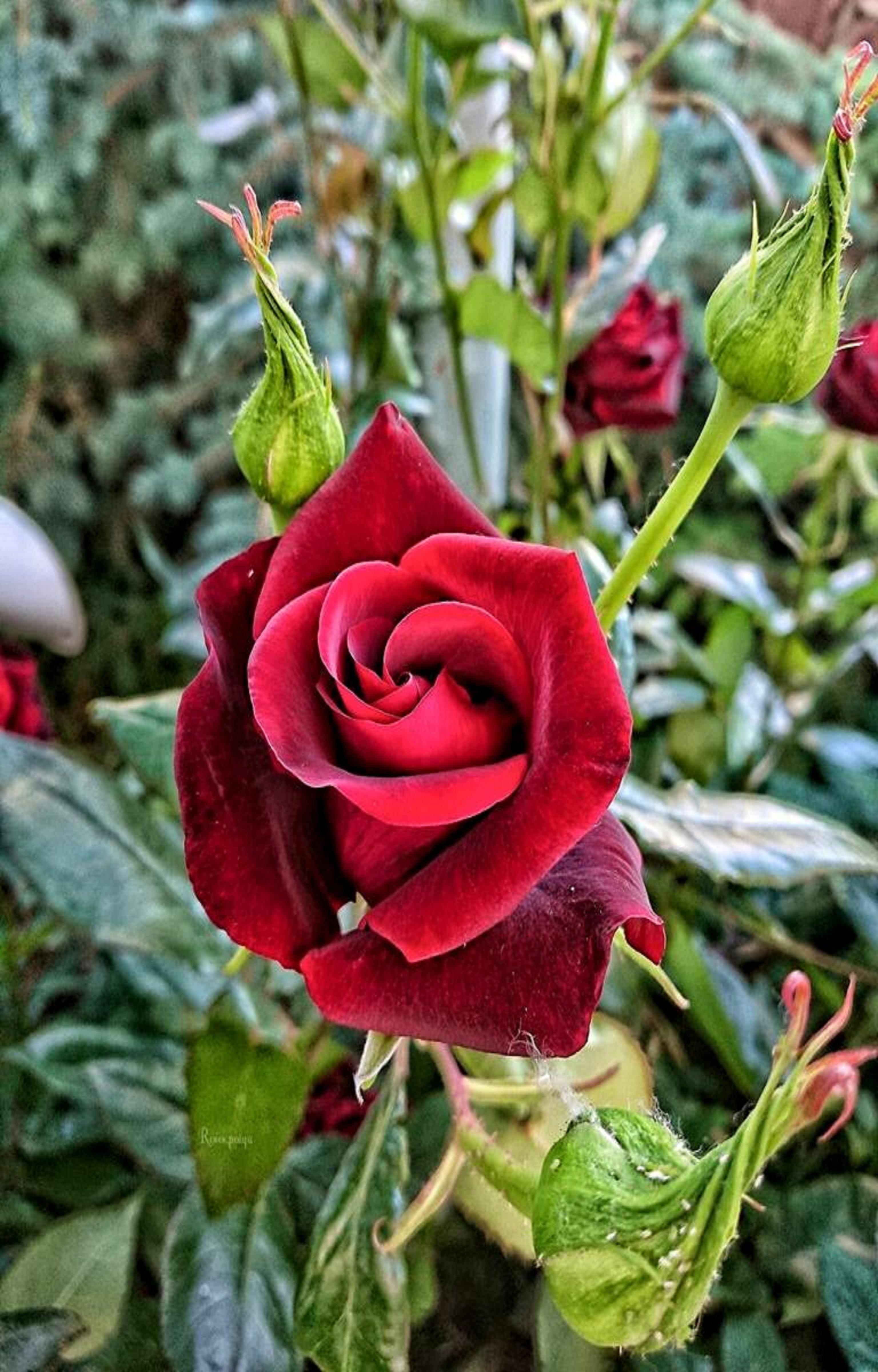 Pin by ivanka kostova on растения Rose, Flowers, Plants