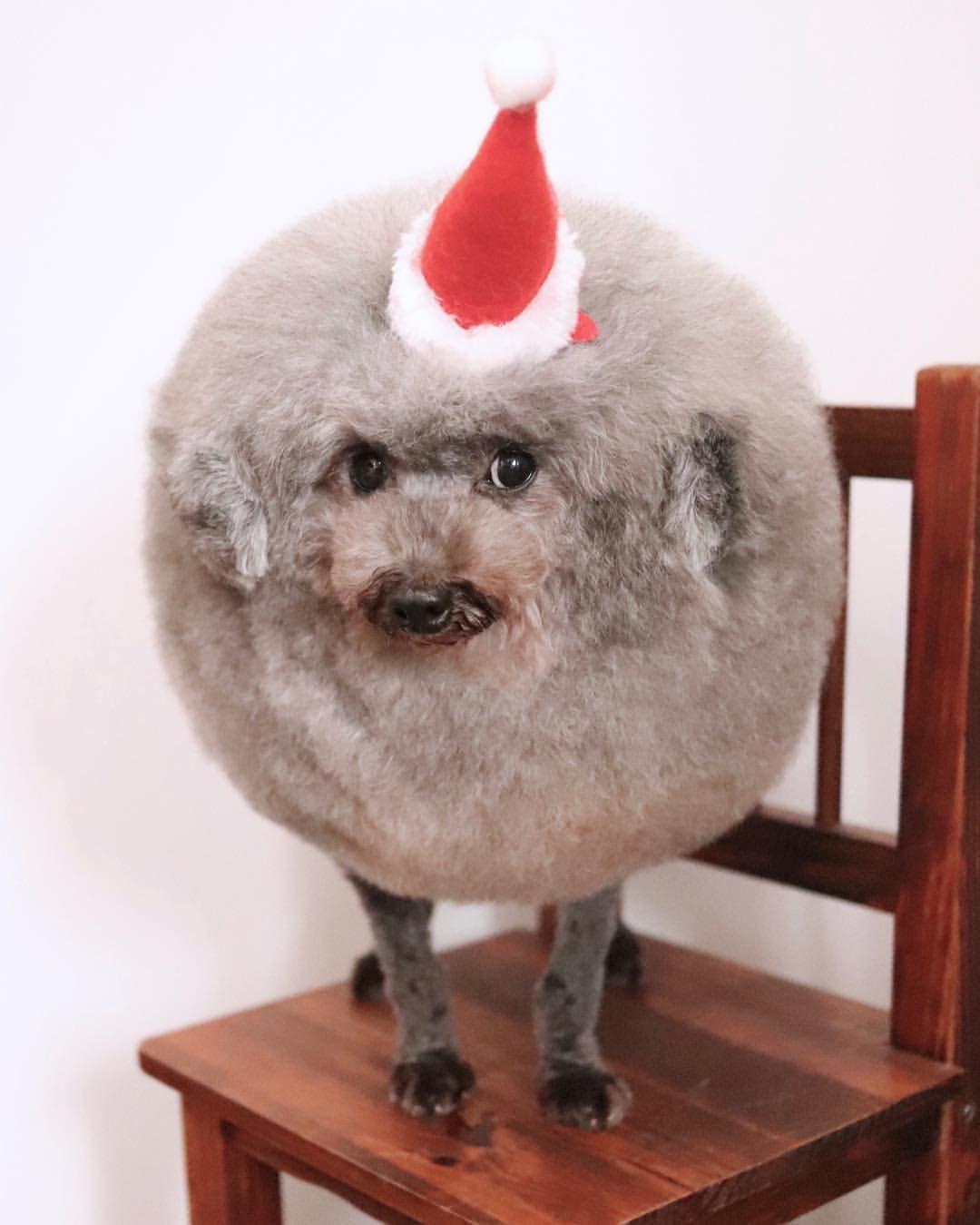 Yoriko Hamachiyo 濱千代 頼子はinstagramを利用しています もうすぐクリスマスですね 丸い犬 ごまちゃん トイプードル ティーカッププードル サンタクロース ふわもふ 三重県 津市 トリミング ドッグサロン よりこころ 看板犬 癒し 心は丸く 幸せ