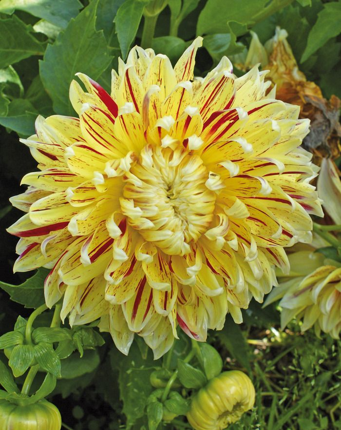 Dahlia 'Cambridge'