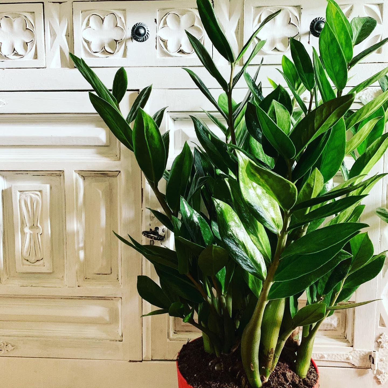 Piante Da Appartamento Zamia Pumila.Pin Su Alchimie Botaniche