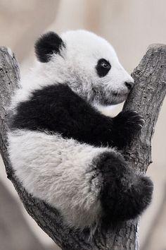 Panda pup http://ift.tt/1GNv5g9