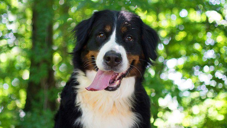 30 Beautiful Bernese Mountain Dog Names Bernese Mountain Dog