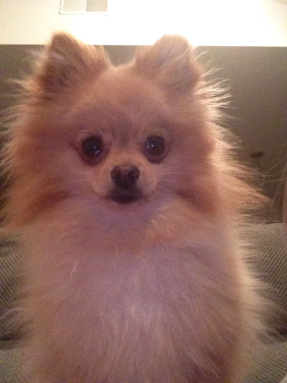 2013 Pom Selfie Pomeranian Pom Pom Animals