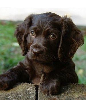 Pinterest Puppies, Spaniel puppies, Spaniel breeds