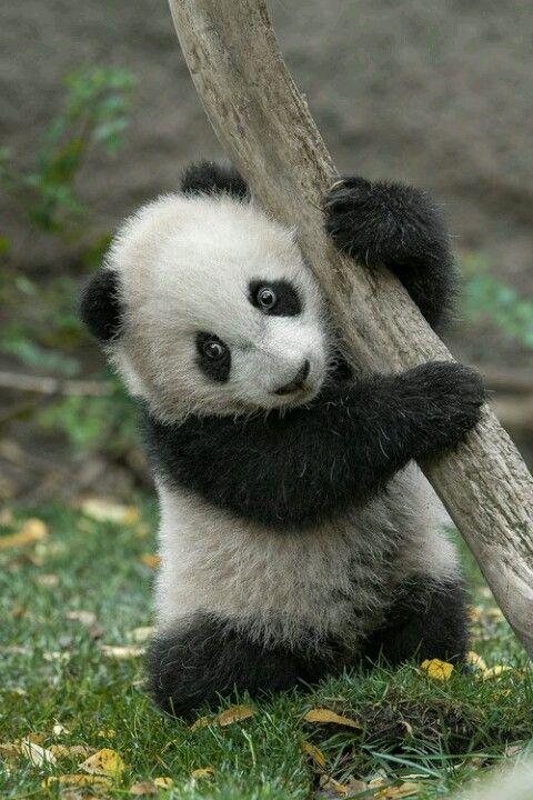 Panda Adorable Wilde Tiere Niedliche Tiere Susse Tiere