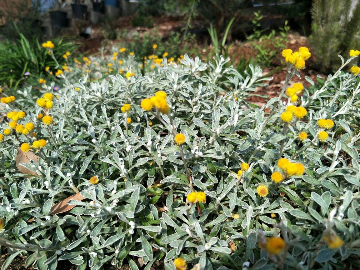Chrysocephalum Desert Flame Tough And Attractive Ground Cover Foliage Plants Ground Cover Coastal Gardens