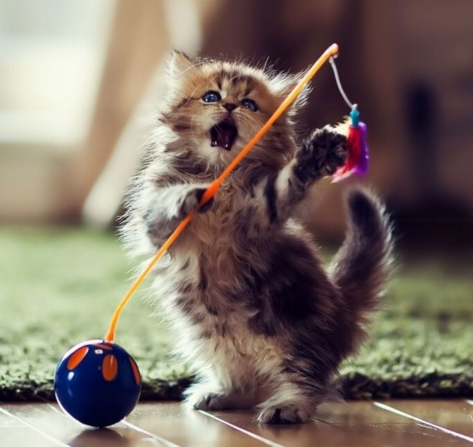 Kitten Playing With Toy Funny Cute Animals Cat Cats Adorable Animal Kittens Pets Lol Kitten Humor Funn Cute Little Kittens Kittens Cutest Baby Animals Pictures