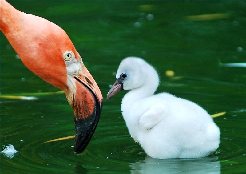 Why Do Flamingos Stand on One Foot?