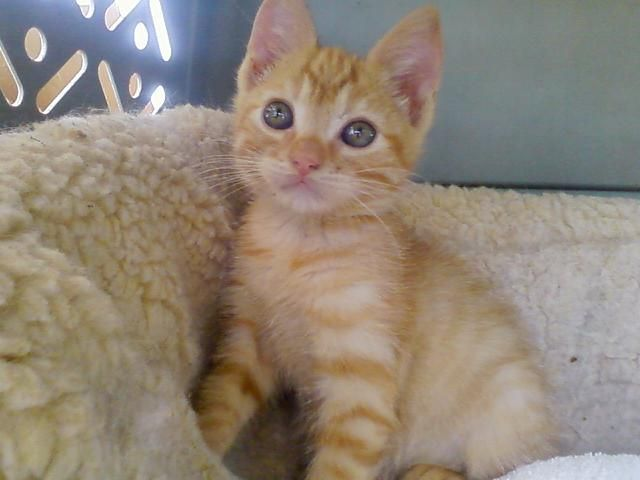 Orange Manx Kitten Her Eyes Changed Color As She Grew