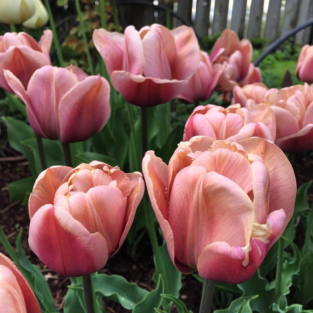 The Beautiful La Belle Epoque Tulip I M In Love Tulips