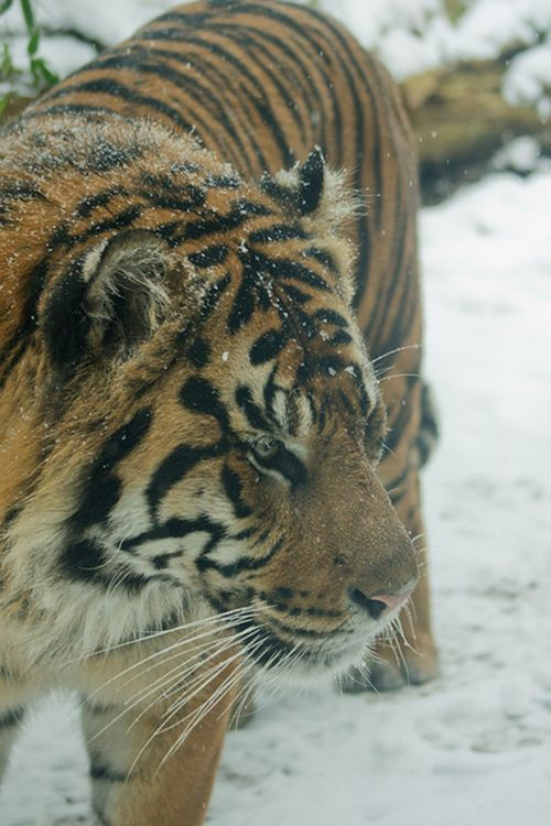 Sumatran Tiger in the snow (by Daniel Coomber)