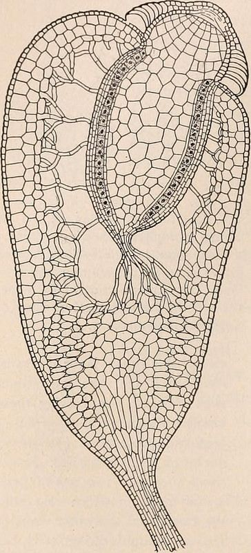 image from page 133 of a textbook of botany for colleges and