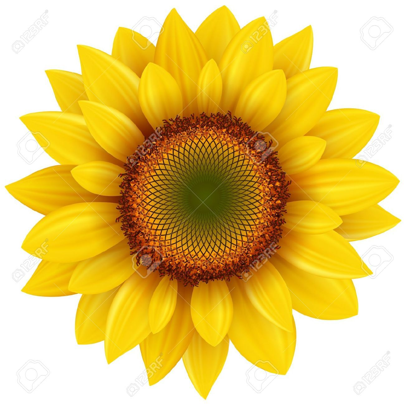 Vector Sunflower, Realistic Illustration. Royalty Free ...