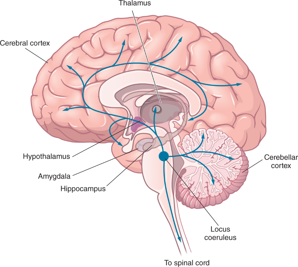 Graphic Of Brain Showing The Flow Of Information To The Thalamus Cerebral Cortex Amygdala Hippocampus Spinal In 2020 Cerebral Cortex Constellations Locus Coeruleus