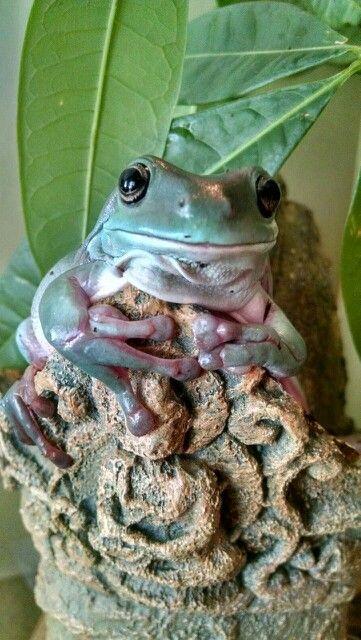 Dumpy Tree Frog~