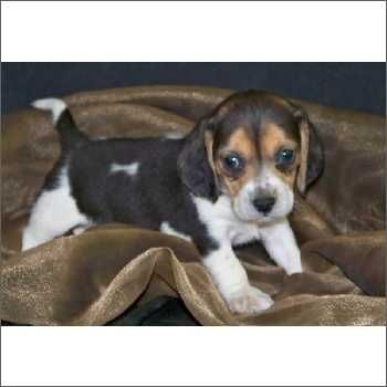 Beagle Puppies For Sale In South Fl Dogs Puppies Beagle Puppy