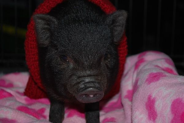 Baby Piggie Trying To Decide What To Name Her Any Ideas Cute