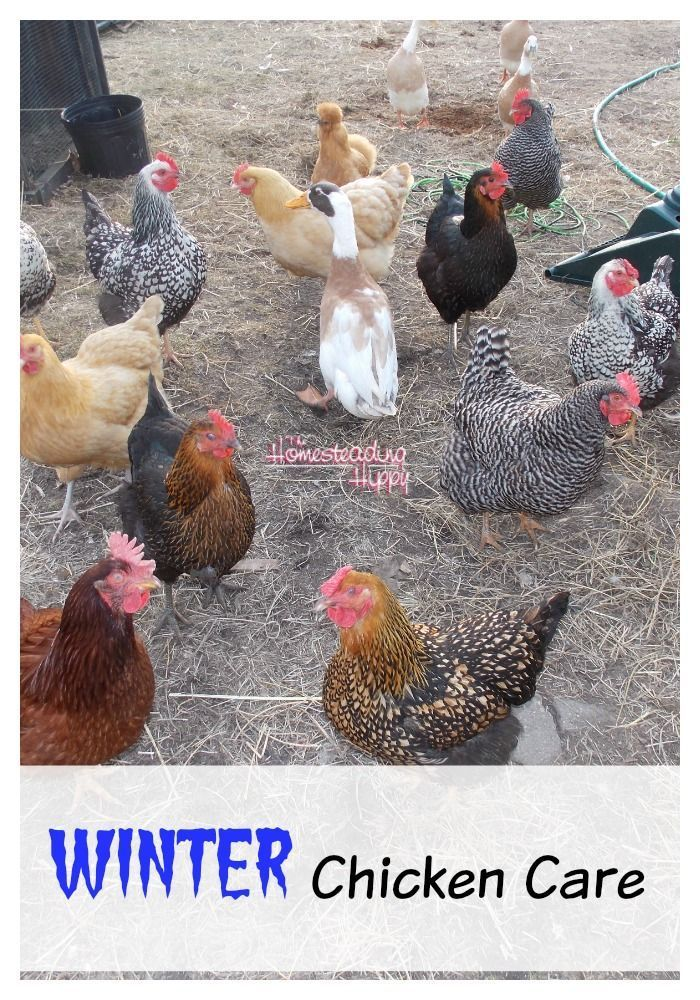 Caring for Your Chickens In The Winter   Chickens in the ...